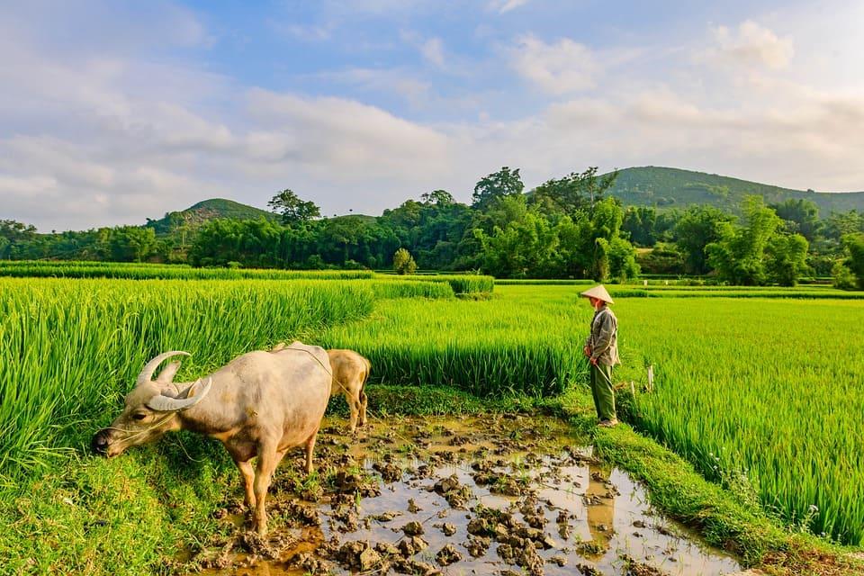 Bufflar i risfält