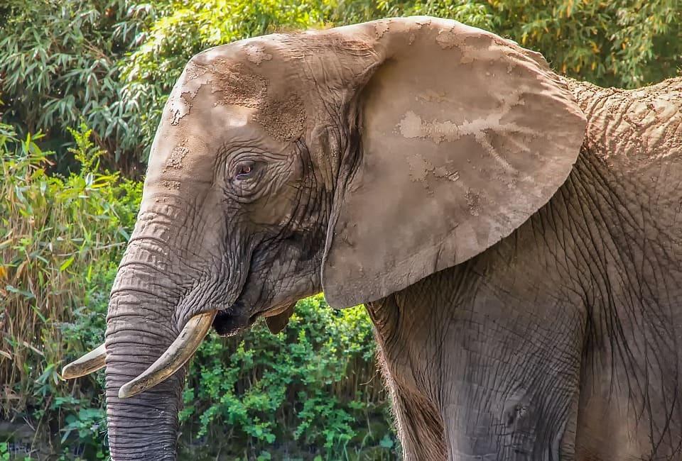 Elefant i närbild