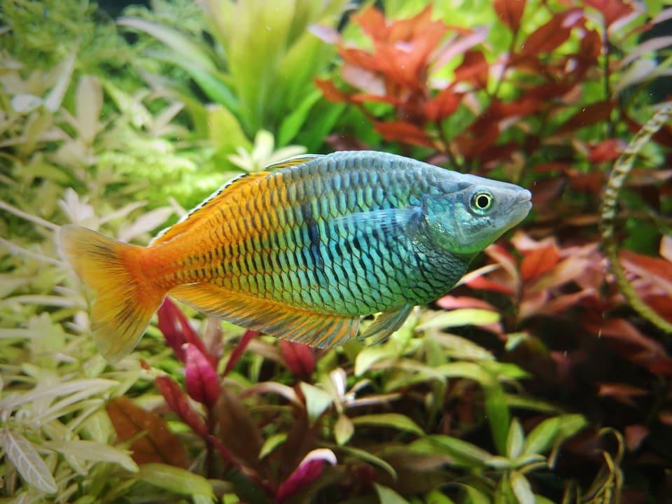 Regnbågsfisk